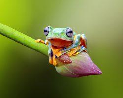 flying-frog-lotus-flower